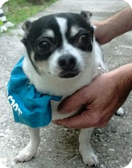 Chihuahua Dog for adoption in Tampa, Florida - Shawn