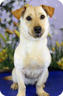 Basset Hound/Labrador Retriever Mix Dog for adoption in LAFAYETTE, Louisiana - ALMOND