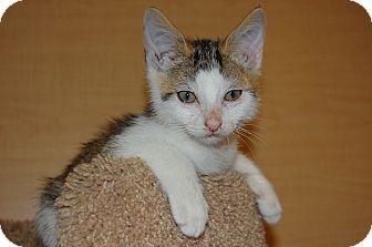 Domestic Shorthair Kitten for adoption in Whittier, California - Goldie