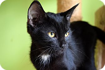 Domestic Shorthair Kitten for adoption in Flushing, Michigan - Lana