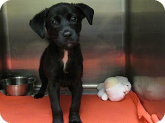 Labrador Retriever Mix Puppy for adoption in Groton, Massachusetts - Jetta