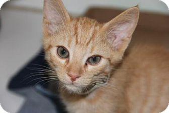 Domestic Shorthair Kitten for adoption in Greensboro, North Carolina - George