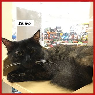 Domestic Mediumhair Cat for adoption in Miami, Florida - Sanyo