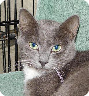 Domestic Shorthair Cat for adoption in Winston-Salem, North Carolina - Duke