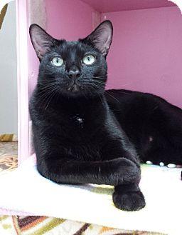 Domestic Shorthair Cat for adoption in Diamond Springs, California - Peter