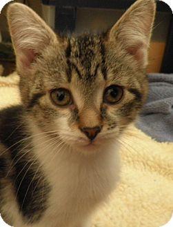 Domestic Shorthair Cat for adoption in Glen Mills, Pennsylvania - Pauly