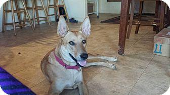 Carolina Dog Dog for adoption in Jacumba, California - Zooey