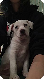 Labrador Retriever/Australian Shepherd Mix Puppy for adoption in Chandler, Arizona - Marley