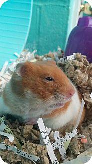 Hamster for adoption in Reisterstown, Maryland - Carmen Sandiego