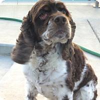 Adopt A Pet :: Charles, Welch SpringerSpaniel - Corona, CA