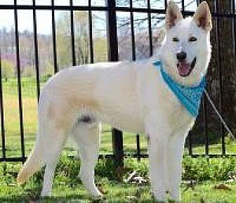 German Shepherd Dog Dog for adoption in Princeton, Kentucky - Raylan