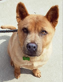 Australian Cattle Dog/Chow Chow Mix Dog for adoption in Fennville, Michigan - Friday