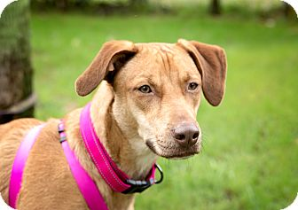 Vizsla Mix Dog for adoption in Navarre, Florida - Autumn