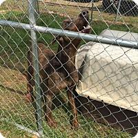 Adopt A Pet :: Gino - Denver, CO