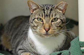 Domestic Shorthair Cat for adoption in Atlanta, Georgia - Marco 14054