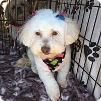 Adopt A Pet :: Bella - Brea, CA