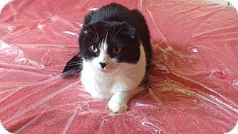 Scottish Fold Cat for adoption in Novato, California - Dudley