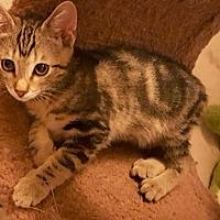 Adopt A Pet :: Presto - Tucson, AZ