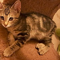 Domestic Shorthair Kitten for adoption in Tucson, Arizona - Presto