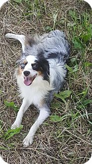 Australian Shepherd Dog for adoption in Huntley, Illinois - Zara