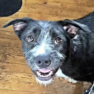 Terrier (Unknown Type, Medium) Mix Dog for adoption in Sidney, Maine - Roger