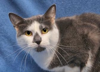 Domestic Shorthair/Domestic Shorthair Mix Cat for adoption in Mentor, Ohio - Madeline 125
