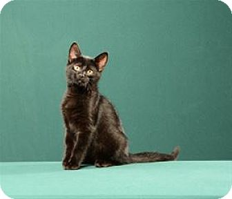 Domestic Shorthair Cat for adoption in Cary, North Carolina - Lou (Kitten)