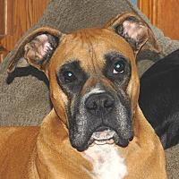 Boxer Dog for adoption in Conesus, New York - Gandolph