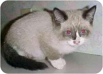 Siamese Kitten for adoption in North Judson, Indiana - Yum Yum