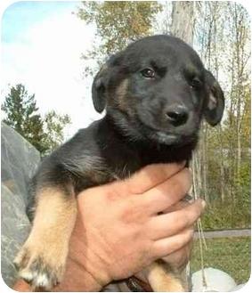 Siberian Husky Mix Puppy for adoption in Makinen, Minnesota - Houdini