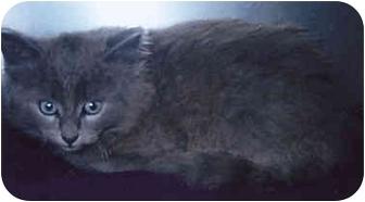 Domestic Longhair Kitten for adoption in Owatonna, Minnesota - Fluffy