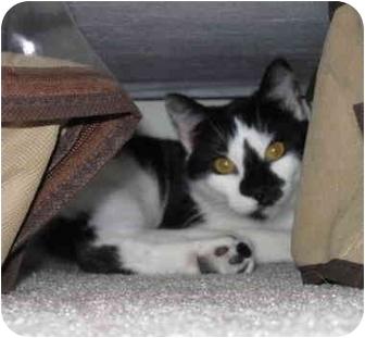 Domestic Shorthair Cat for adoption in Davis, California - C.C.