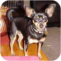Miniature Pinscher Dog for adoption in Florissant, Missouri - Molly