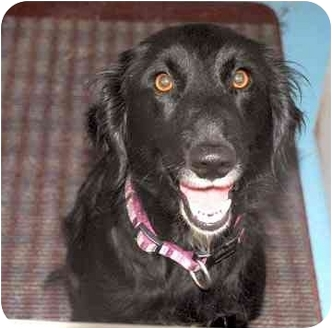 Flat-Coated Retriever Mix Dog for adoption in Spring Valley, New York - Millie
