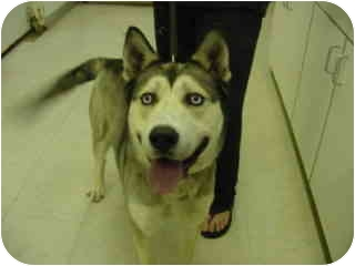 Husky Mix Dog for adoption in Marshalltown, Iowa - Will