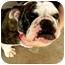Photo 1 - English Bulldog Dog for adoption in Gilbert, Arizona - Penelope