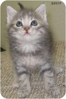Domestic Mediumhair Kitten for adoption in Republic, Washington - Coruna