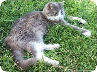 Domestic Longhair Cat for adoption in Las Vegas, Nevada - LARRI
