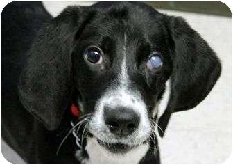Great Dane/Coonhound Mix Puppy for adoption in Cincinnati, Ohio - Sophia