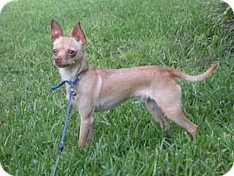 Chihuahua Mix Dog for adoption in Waller, Texas - Rudy