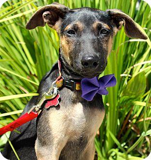 Jindo/Shepherd (Unknown Type) Mix Puppy for adoption in Encino, California - Thomas