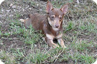 Miniature Pinscher/Chihuahua Mix Puppy for adoption in Tumwater, Washington - Cory