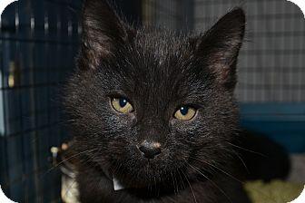 Domestic Mediumhair Kitten for adoption in Edwardsville, Illinois - MistleToe