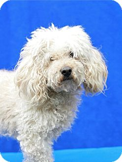 Bichon Frise Mix Dog for adoption in Coronado, California - Hank