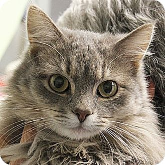 Maine Coon Cat for adoption in Huntley, Illinois - Violet