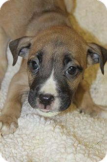 Boxer Mix Puppy for adoption in Waldorf, Maryland - Nesquick