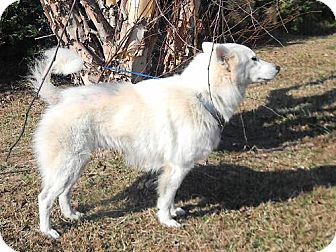 Spitz (Unknown Type, Medium)/Samoyed Mix Dog for adoption in Tyner, North Carolina - Bear