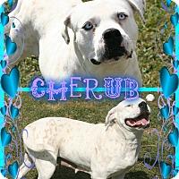 Adopt A Pet :: Cherub - Tampa, FL