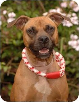 Staffordshire Bull Terrier Dog for adoption in Long Beach, California - Molly