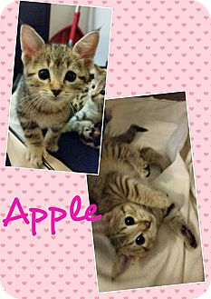 Domestic Shorthair Kitten for adoption in North Richland Hills, Texas - Apple